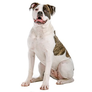 American Bulldog Dog Breed Characteristics