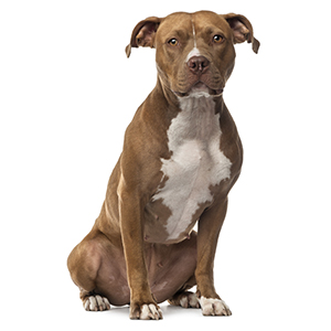 American Staffordshire Terrier Guard Dog & Watch Dog Ability