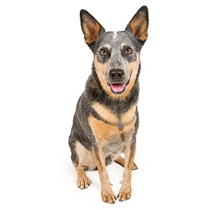 Australian Cattle Dog Guard Dog & Watch Dog Ability