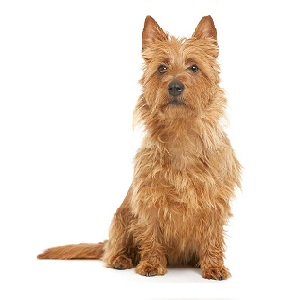 Training an Australian Terrier