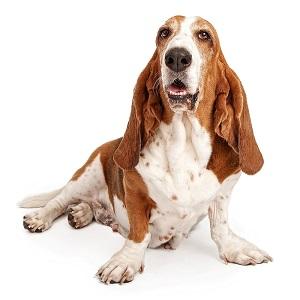Basset Hound Dog Breed Characteristics