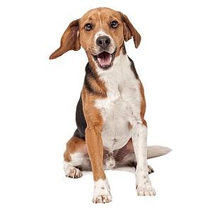 Training a Beagle