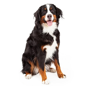 Bernese Mountain Dog Temperament & Personality