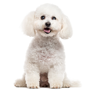 Bichon Frise Dog Breed Characteristics
