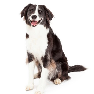 Border Collie Dog Breed Characteristics