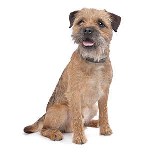 Border Terrier Dog Breed Characteristics