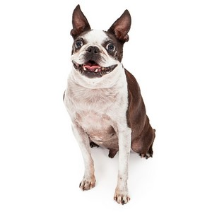 Boston Terrier Dog Breed Characteristics