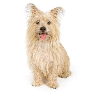 Cairn Terrier Dog Breed Characteristics