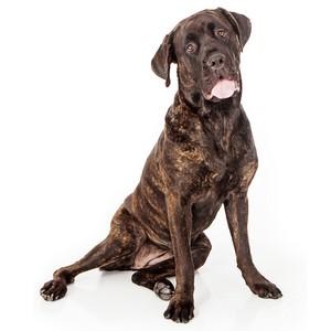 Cane Corso Guard Dog & Watch Dog Ability
