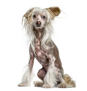 Chinese Crested Guard Dog & Watch Dog Ability
