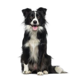 Collie Guard Dog & Watch Dog Ability