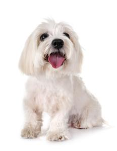 Coton De Tulear Guard Dog & Watch Dog Ability