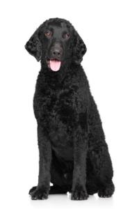 Training a Curly-Coated Retriever