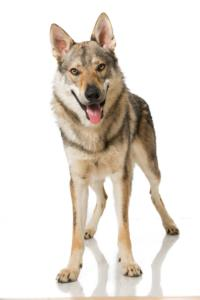 Training a Czechoslovakian Wolfdog