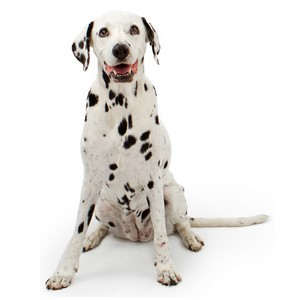 Dalmatian Guard Dog & Watch Dog Ability