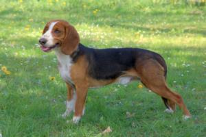 Deutsche Bracke Guard Dog & Watch Dog Ability