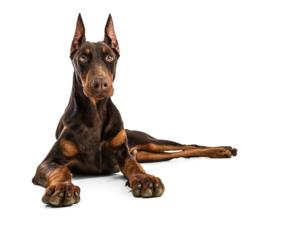 Training a Doberman Pinscher