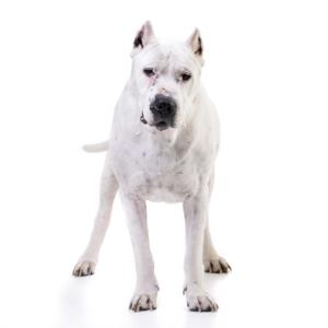 Training a Dogo Argentino