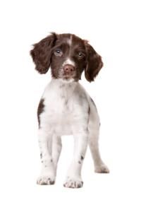 Drentse Patrijshond Guard Dog & Watch Dog Ability
