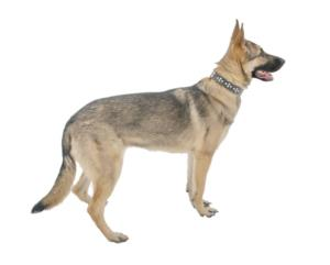 East-European Shepherd Guard Dog & Watch Dog Ability