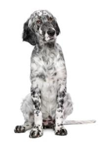 English Setter Temperament & Personality