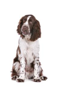 English Springer Spaniel Temperament & Personality