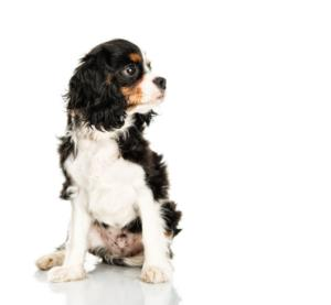 Training an English Toy Spaniel