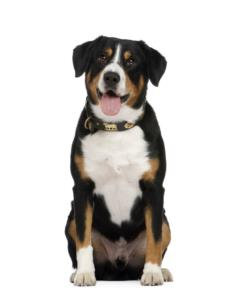 Entlebucher Mountain Dog Temperament & Personality