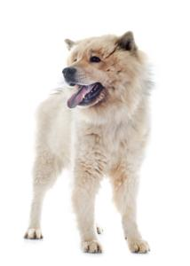 Eurasier Temperament & Personality