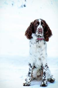 Field Spaniel Guard Dog & Watch Dog Ability