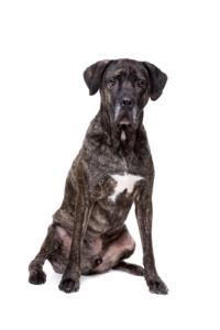 Fila Brasileiro Guard Dog & Watch Dog Ability