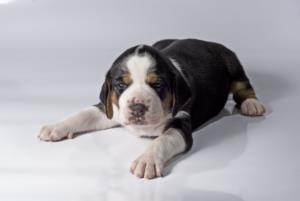 Finnish Hound Guard Dog & Watch Dog Ability