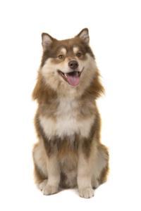 Training a Finnish Lapphund
