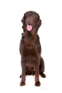 Training a Flat-Coated Retriever