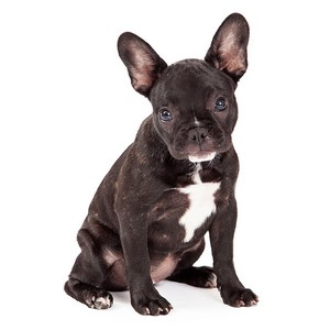 French Bulldog Guard Dog & Watch Dog Ability