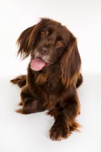 Training a German Longhaired Pointer