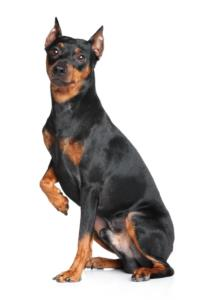 Training a German Pinscher