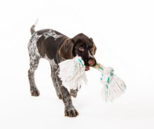 Training a German Wirehaired Pointer