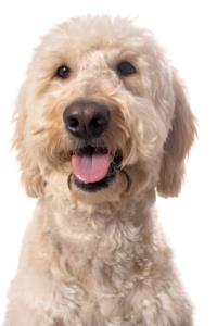 Goldendoodle Guard Dog & Watch Dog Ability