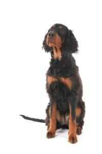 Training a Gordon Setter
