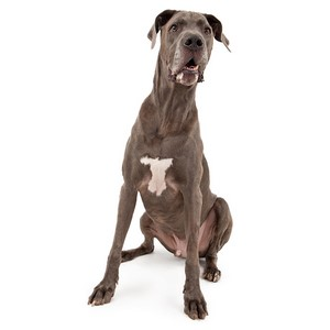 Great Dane Dog Breed Characteristics