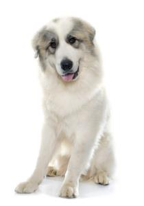 Great Pyrenees Temperament & Personality
