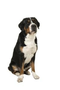 Greater Swiss Mountain Dog Temperament & Personality