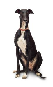 Greyhound Temperament & Personality