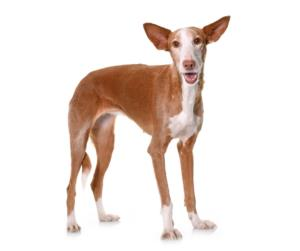 Ibizan Hound Guard Dog & Watch Dog Ability