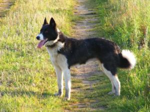 Karelian Bear Dog Dog Breed Characteristics