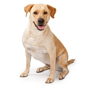 Labrador Retriever Dog Breed Characteristics