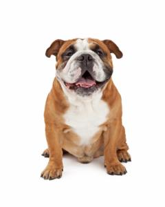 Good Names for Miniature Bulldogs