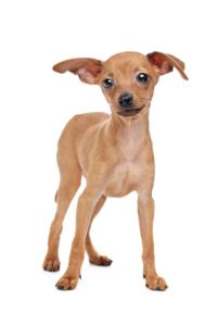 Training a Miniature Pinscher