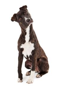 Mountain Cur Temperament & Personality